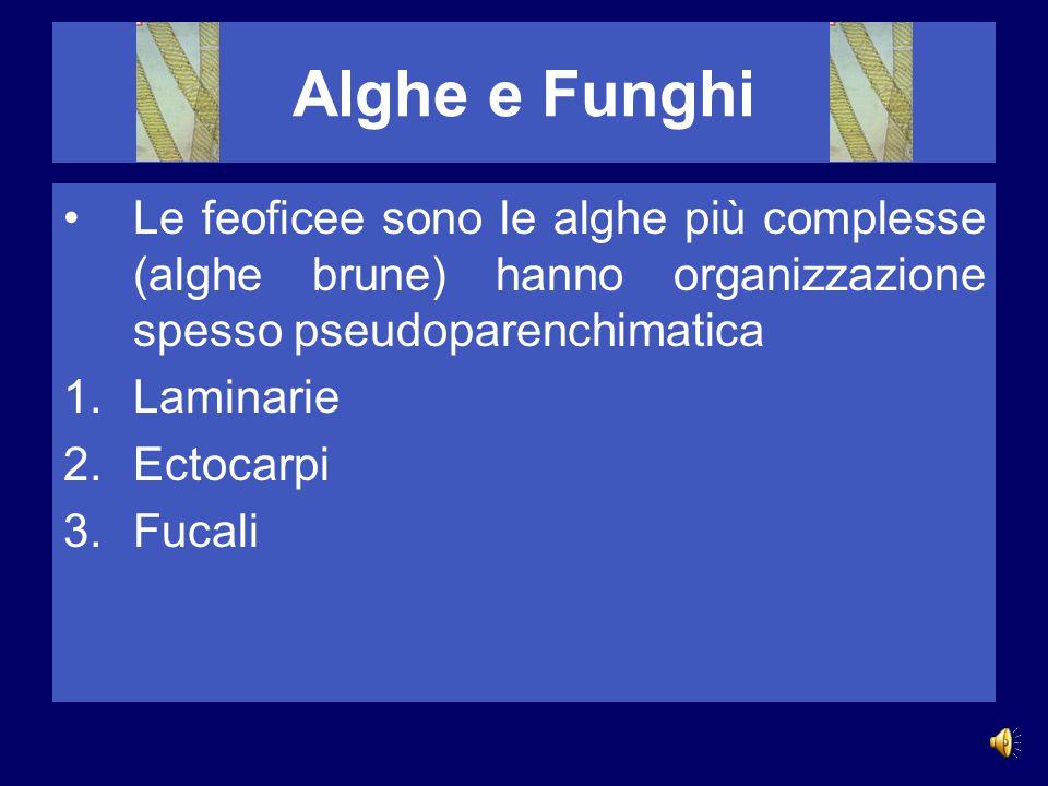 Alghe e Funghi Le feoficee sono le alghe più complesse (alghe brune) hanno organizzazione spesso pseudoparenchimatica.