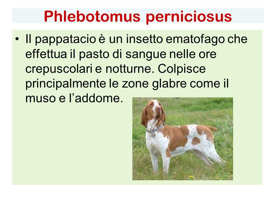 Phlebotomus perniciosus