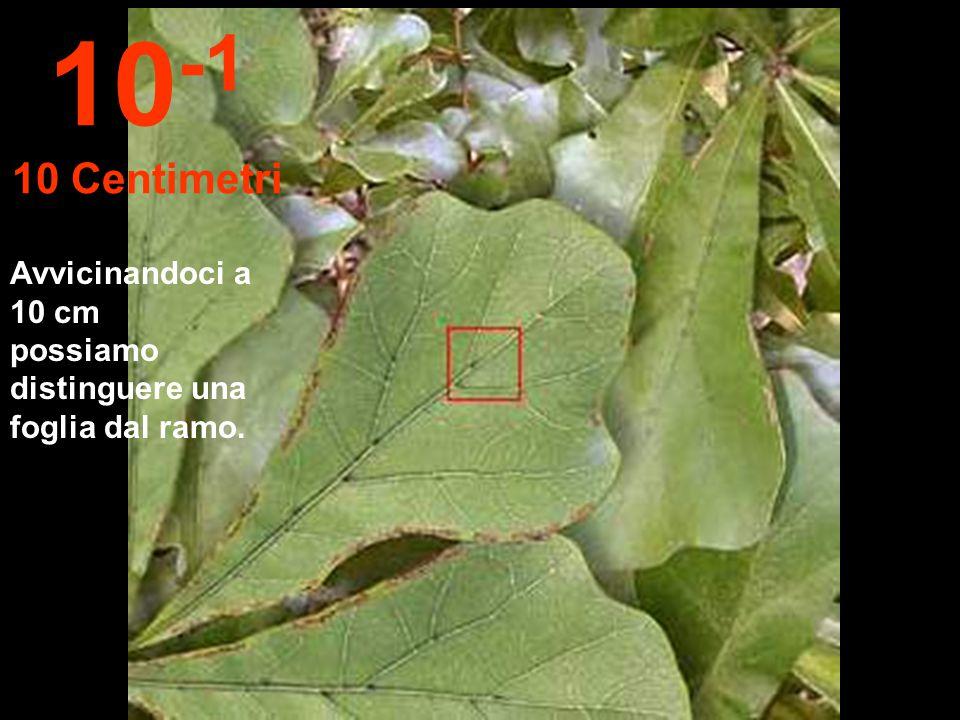 10-1 10 Centimetri Avvicinandoci a 10 cm possiamo distinguere una foglia dal ramo.