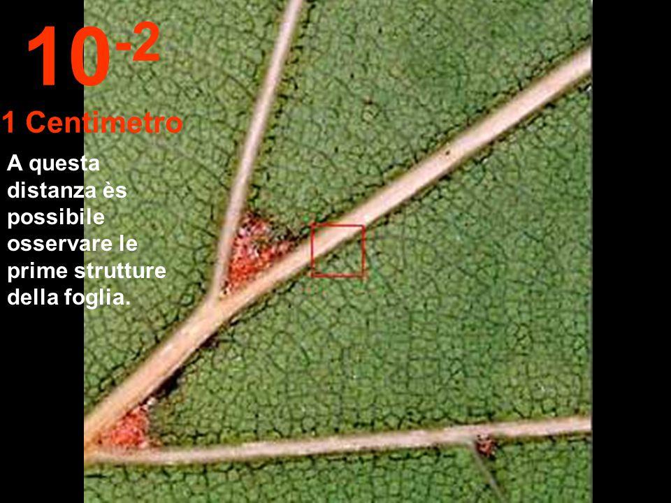 10-2 1 Centimetro A questa distanza ès possibile osservare le prime strutture della foglia.