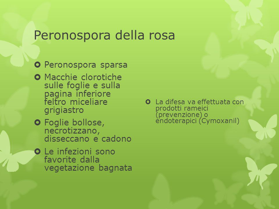 Peronospora della rosa