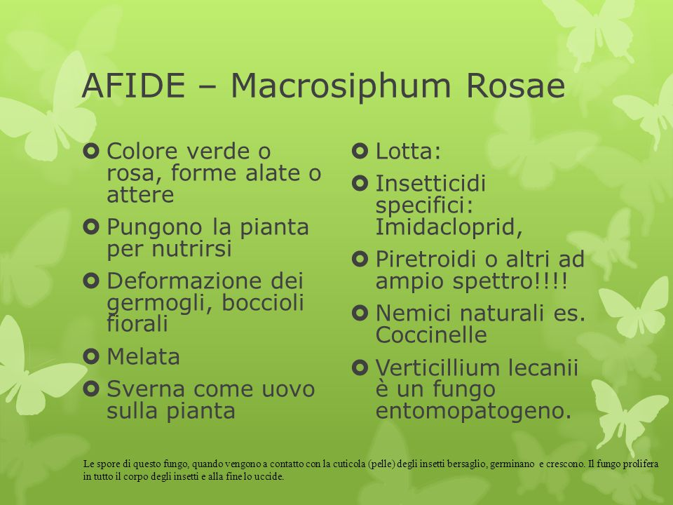 AFIDE – Macrosiphum Rosae
