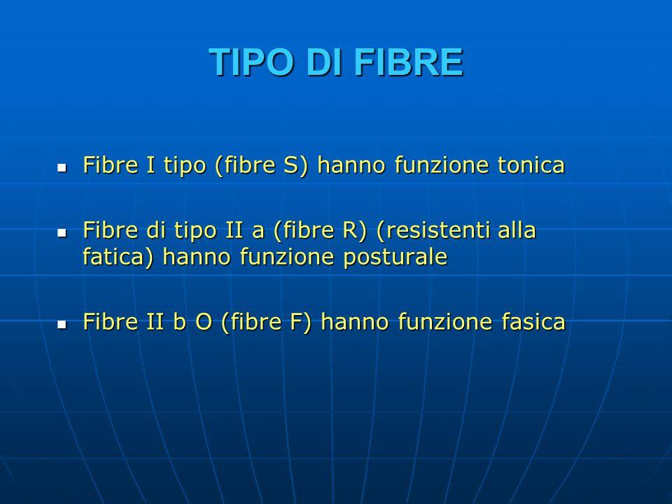 TIPO DI FIBRE Fibre I tipo (fibre S) hanno funzione tonica