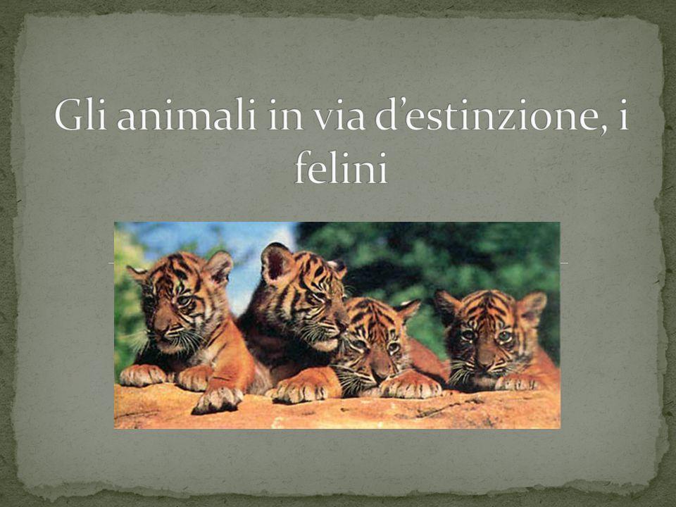 Gli animali in via d'estinzione, i felini