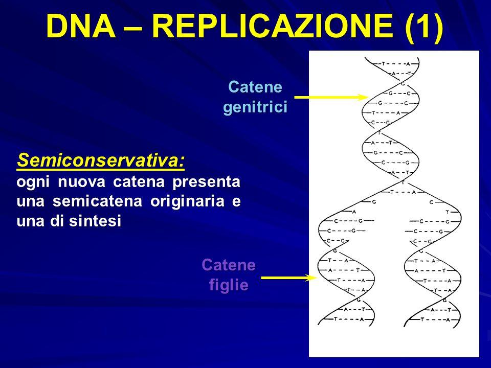 DNA – REPLICAZIONE (1) Semiconservativa: Catene genitrici