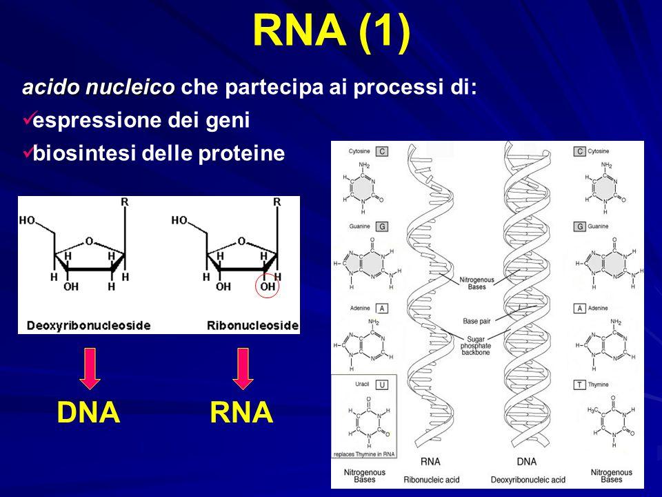 RNA (1) DNA RNA acido nucleico che partecipa ai processi di: