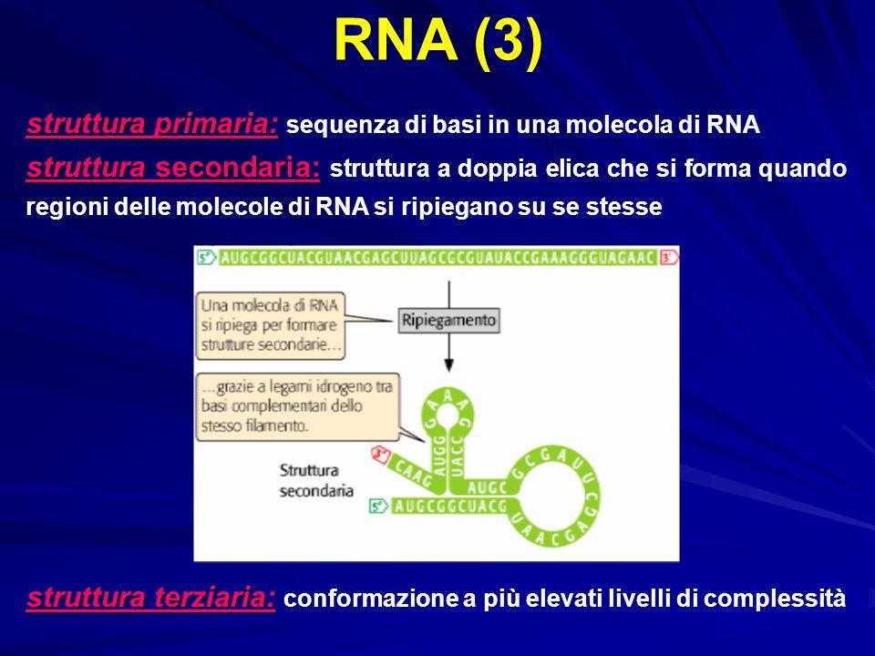 RNA (3) struttura primaria: sequenza di basi in una molecola di RNA