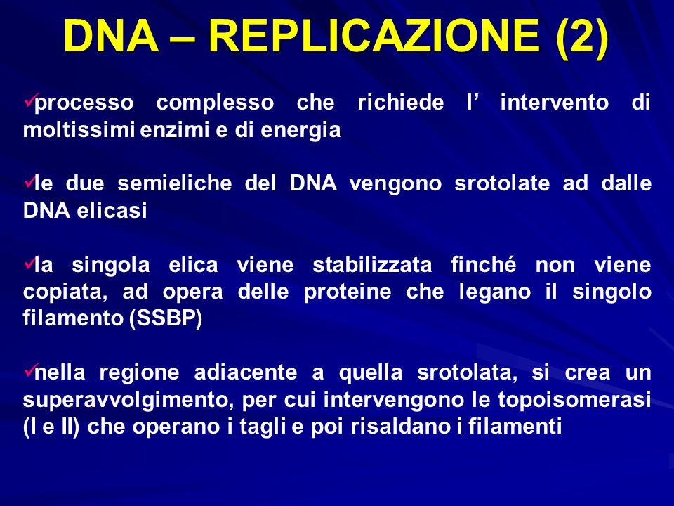 DNA – REPLICAZIONE (2) processo complesso che richiede l' intervento di moltissimi enzimi e di energia.