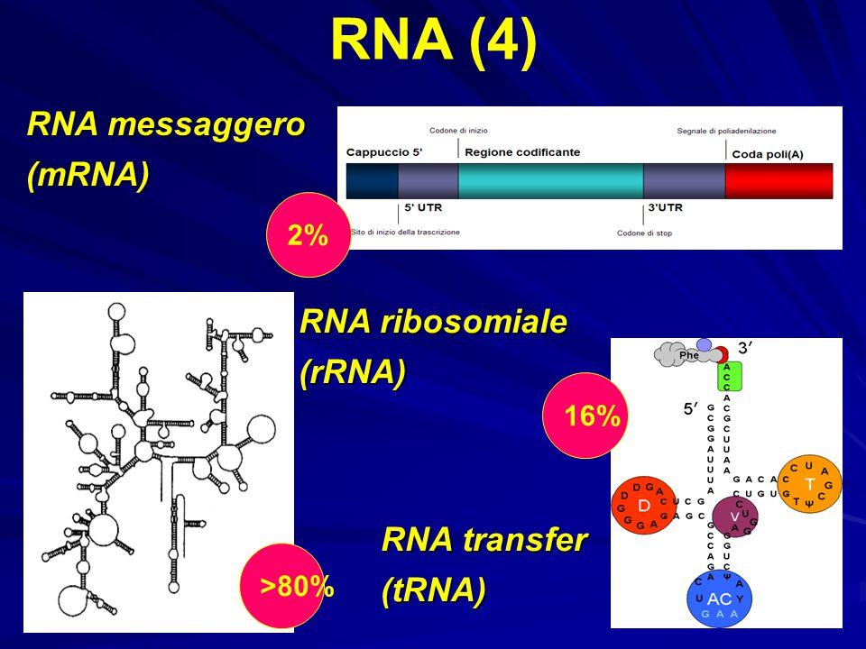 RNA (4) RNA messaggero (mRNA) RNA ribosomiale (rRNA) RNA transfer