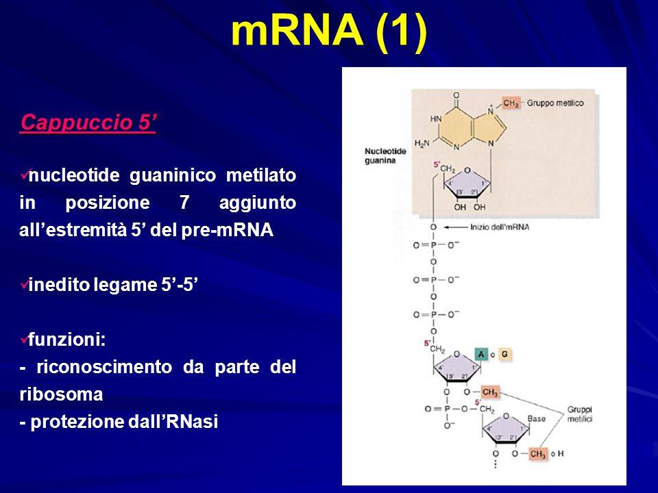 mRNA (1) Cappuccio 5' nucleotide guaninico metilato in posizione 7 aggiunto all'estremità 5' del pre-mRNA.