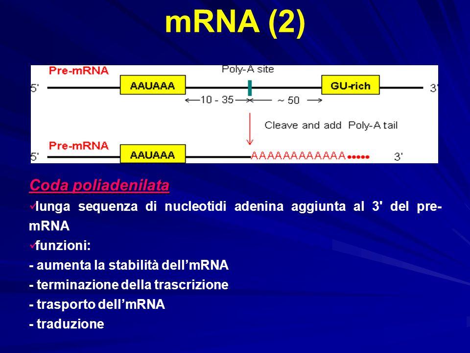 mRNA (2) Coda poliadenilata
