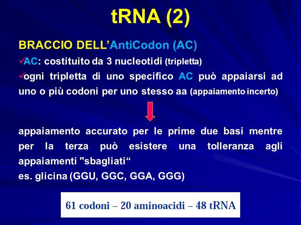 tRNA (2) BRACCIO DELL'AntiCodon (AC)