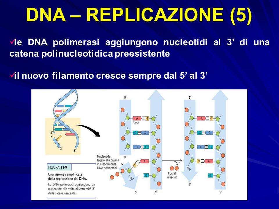 DNA – REPLICAZIONE (5) le DNA polimerasi aggiungono nucleotidi al 3' di una catena polinucleotidica preesistente.