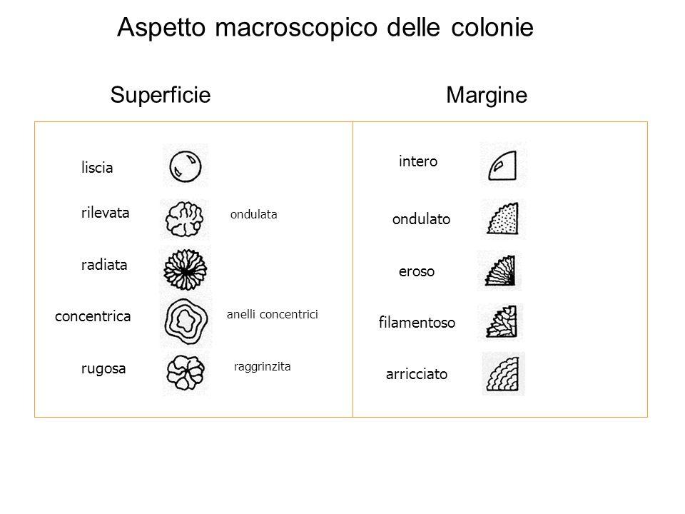 Aspetto macroscopico delle colonie