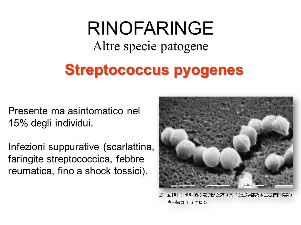 RINOFARINGE Streptococcus pyogenes Altre specie patogene
