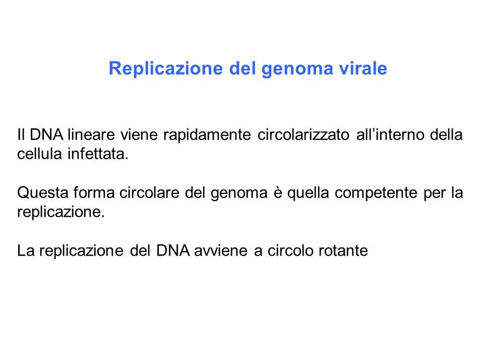 Replicazione del genoma virale