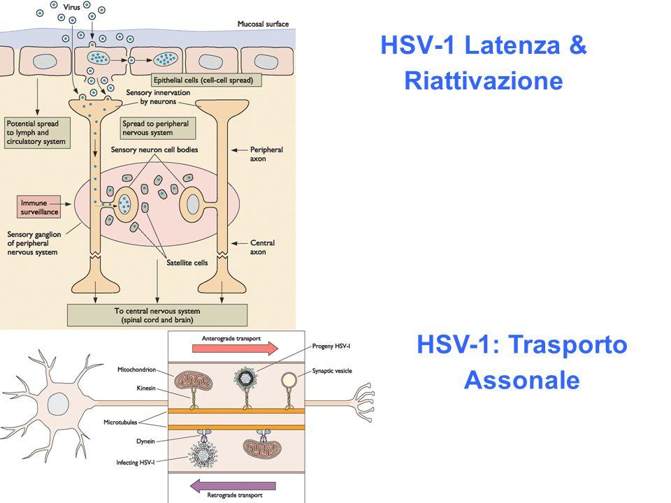 HSV-1 Latenza & Riattivazione