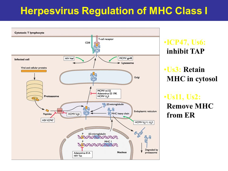 Herpesvirus Regulation of MHC Class I