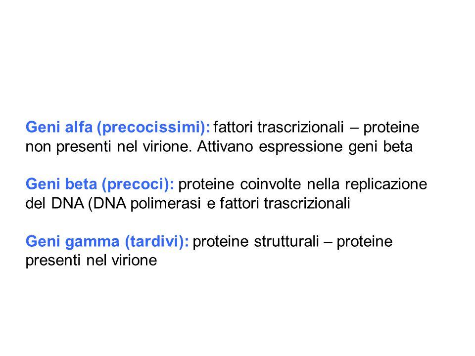 Geni alfa (precocissimi): fattori trascrizionali – proteine non presenti nel virione. Attivano espressione geni beta