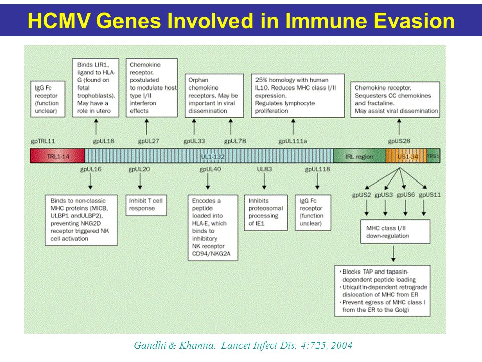HCMV Genes Involved in Immune Evasion