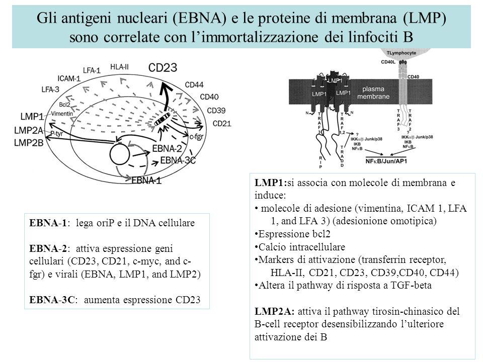 Gli antigeni nucleari (EBNA) e le proteine di membrana (LMP)