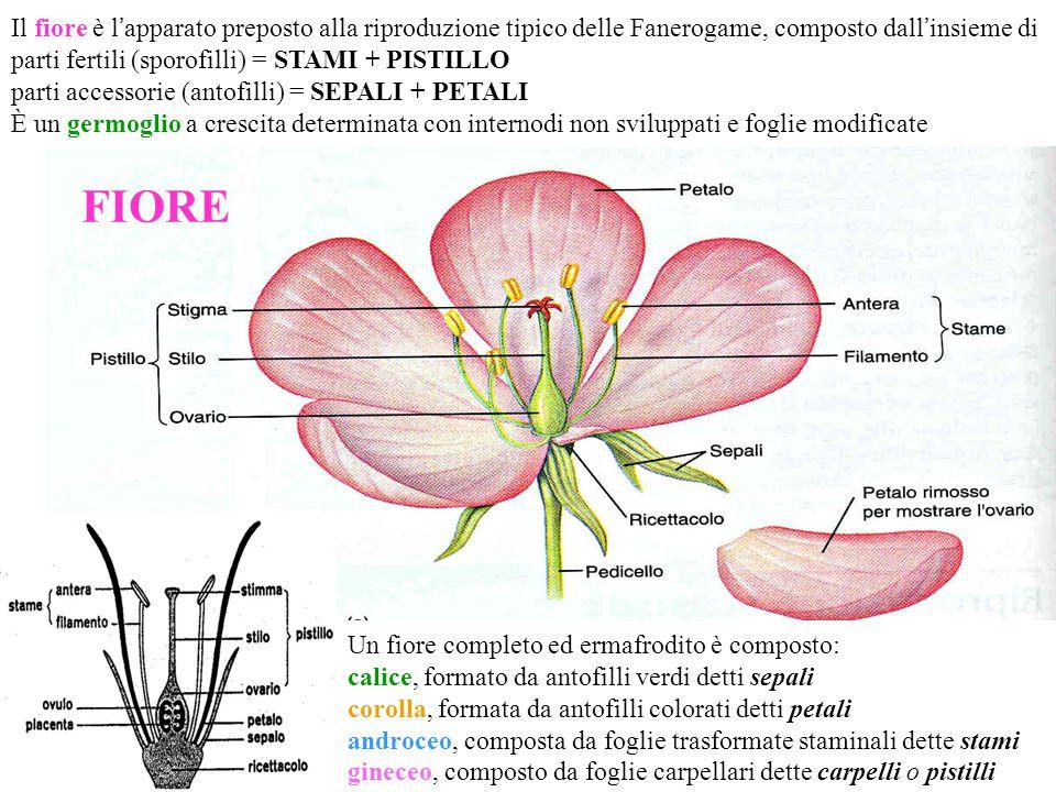 Il fiore è l'apparato preposto alla riproduzione tipico delle Fanerogame, composto dall'insieme di parti fertili (sporofilli) = STAMI + PISTILLO