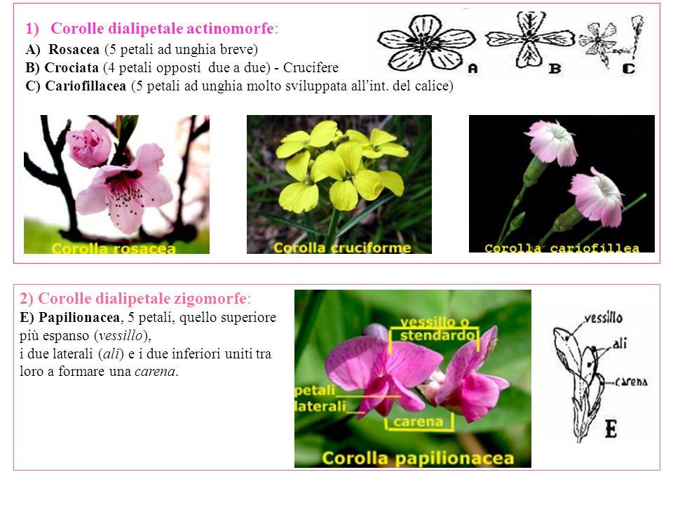 Corolle dialipetale actinomorfe: