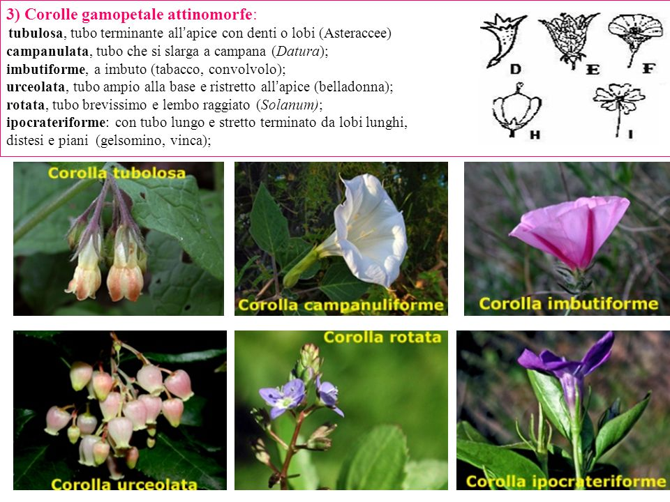 3) Corolle gamopetale attinomorfe: