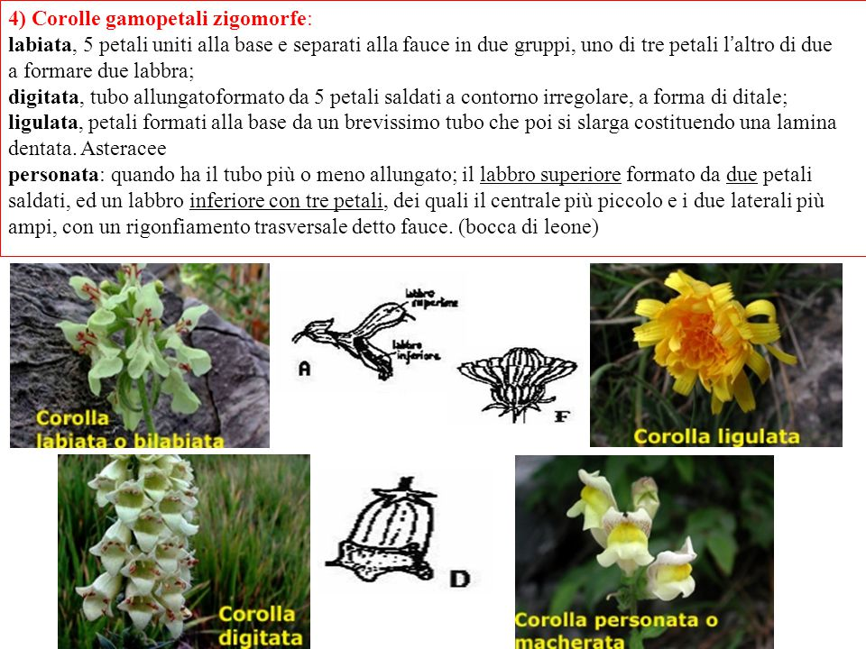 4) Corolle gamopetali zigomorfe: