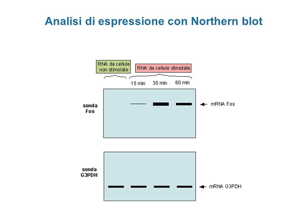 Analisi di espressione con Northern blot