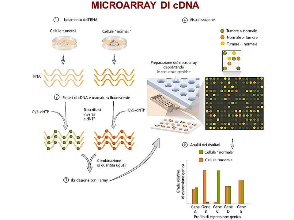 MICROARRAY DI cDNA