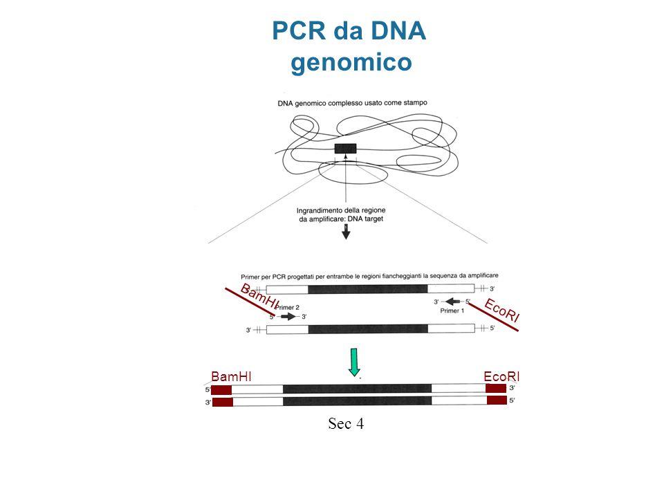 PCR da DNA genomico EcoRI BamHI BamHI EcoRI Sec 4