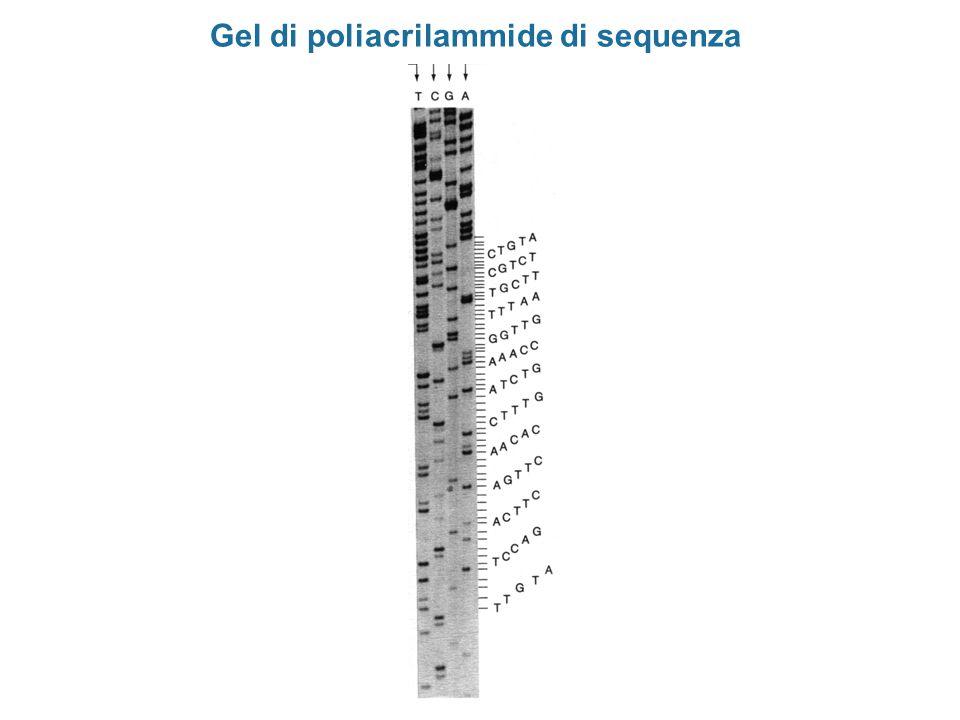 Gel di poliacrilammide di sequenza