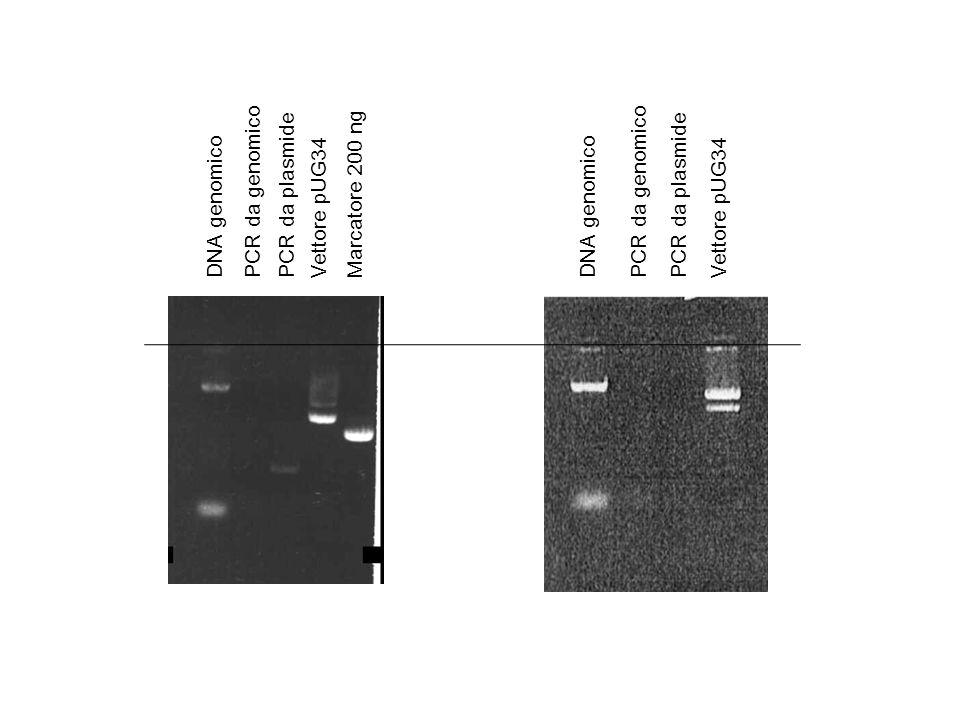 PCR da genomico PCR da plasmide. Marcatore 200 ng. PCR da genomico. PCR da plasmide. DNA genomico.