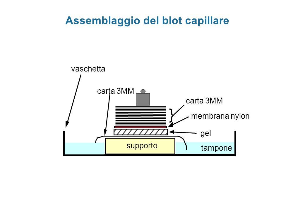 Assemblaggio del blot capillare