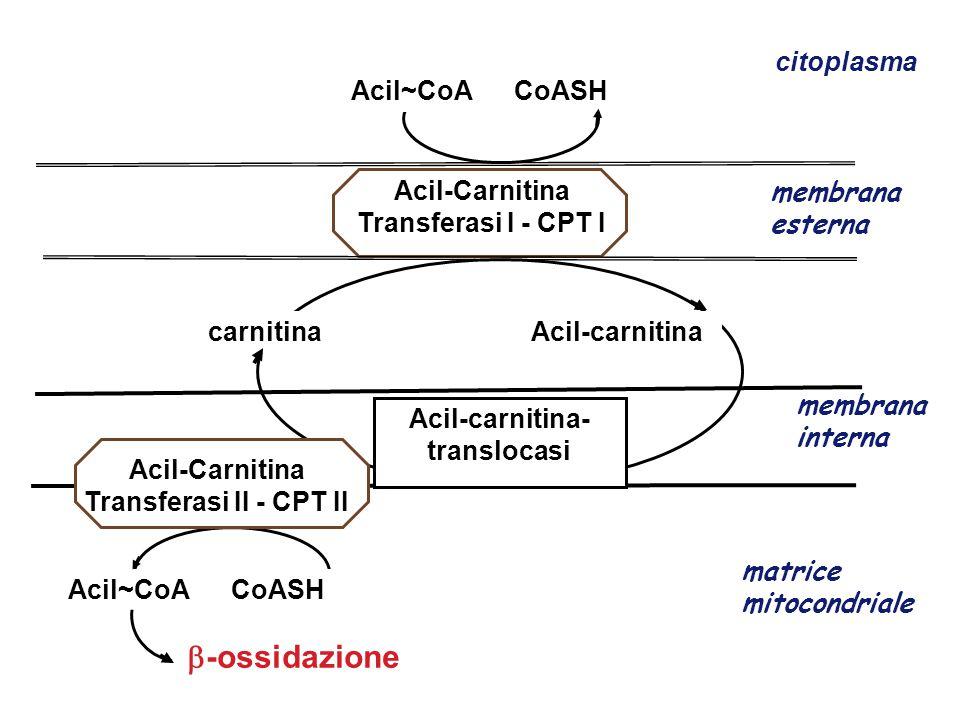 Acil-Carnitina Transferasi II - CPT II