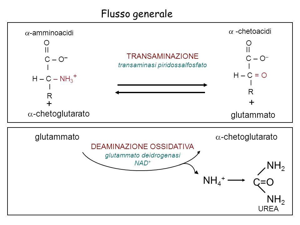 Flusso generale + NH2 C=O NH4+ glutammato -chetoglutarato