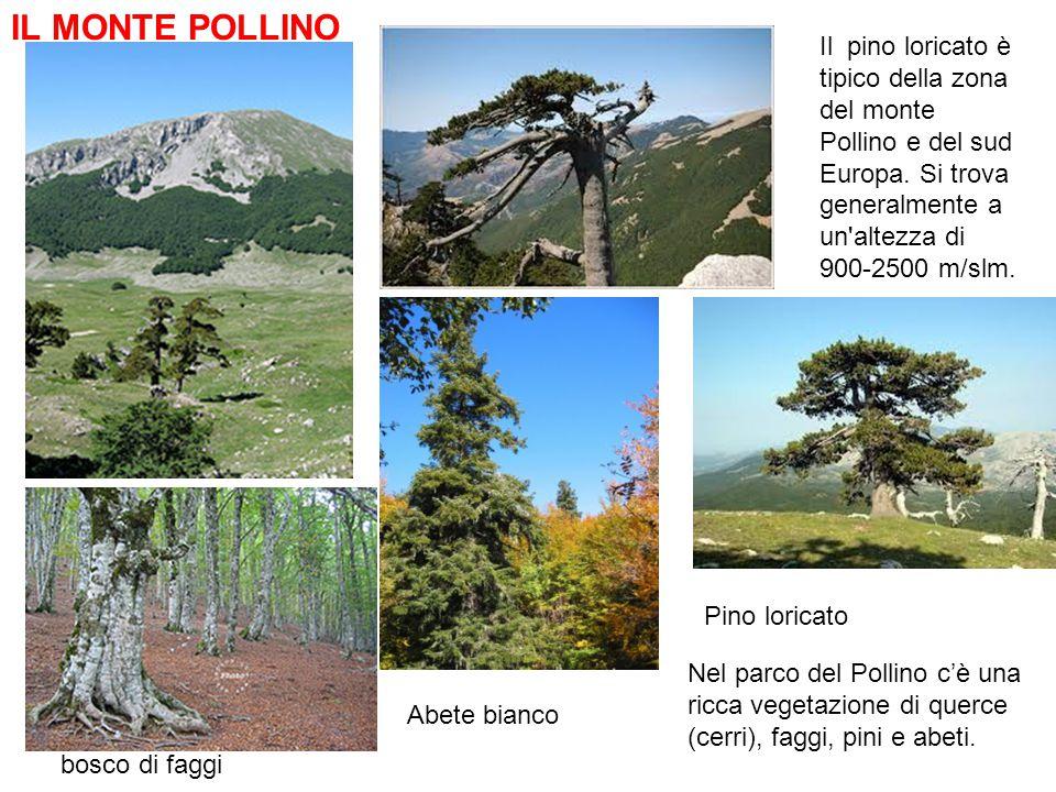 IL MONTE POLLINO Il pino loricato è tipico della zona del monte Pollino e del sud Europa. Si trova generalmente a un altezza di 900-2500 m/slm.