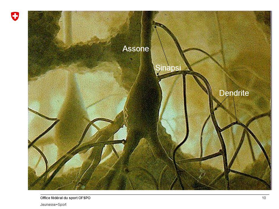 Sinapsi Assone Dendrite