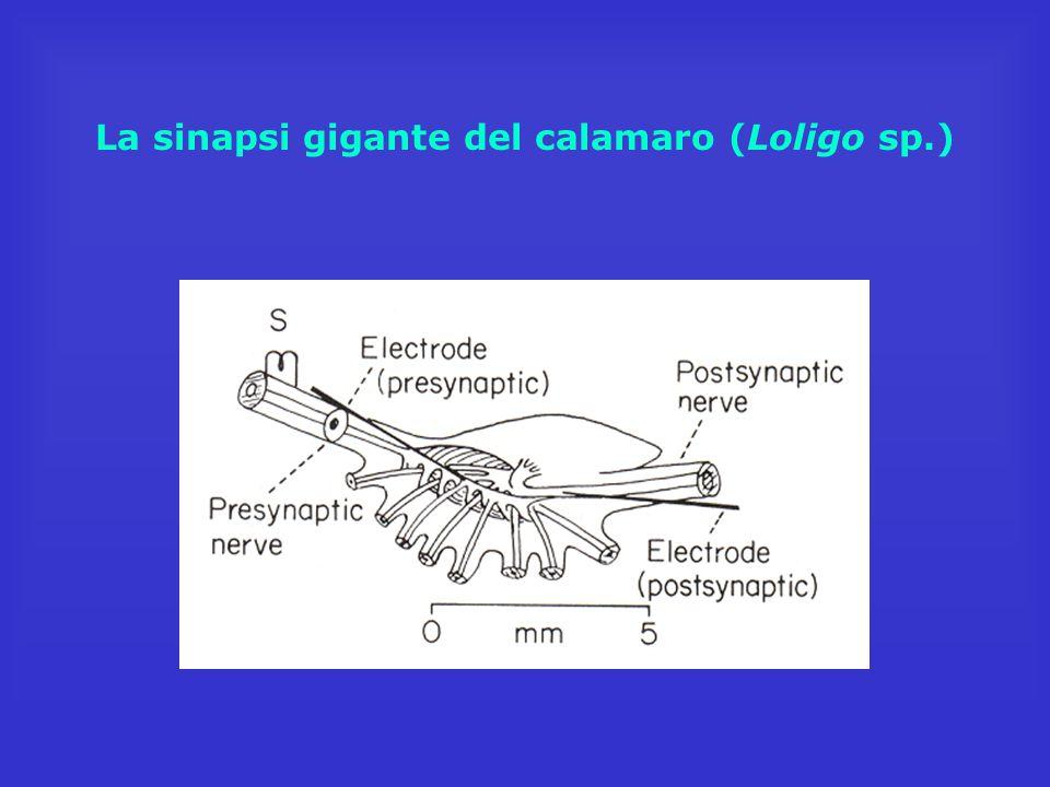 La sinapsi gigante del calamaro (Loligo sp.)