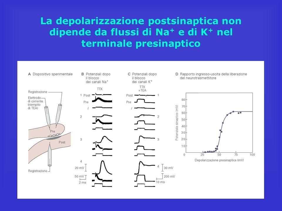 La depolarizzazione postsinaptica non dipende da flussi di Na+ e di K+ nel terminale presinaptico