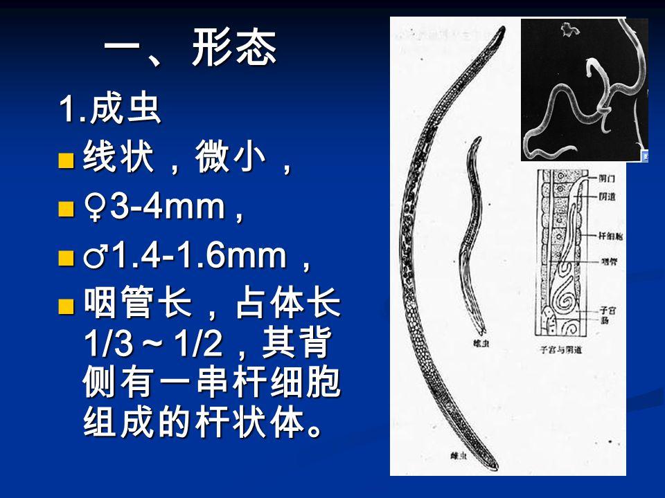 一、形态 1.成虫 线状,微小, ♀3-4mm , ♂1.4-1.6mm, 咽管长,占体长1/3~1/2,其背侧有一串杆细胞组成的杆状体。
