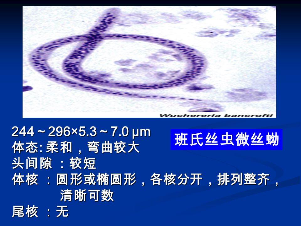 244~296×5.3~7.0 µm 体态: 柔和,弯曲较大 头间隙 :较短 体核 :圆形或椭圆形,各核分开,排列整齐, 清晰可数 尾核 :无