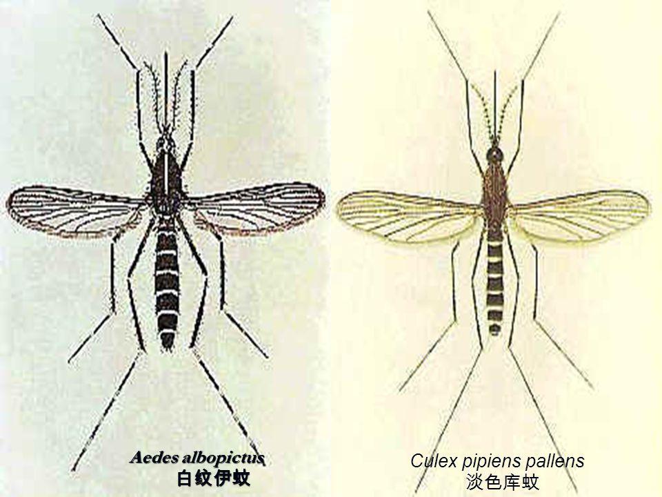 Aedes albopictus 白纹伊蚊 Culex pipiens pallens 淡色库蚊
