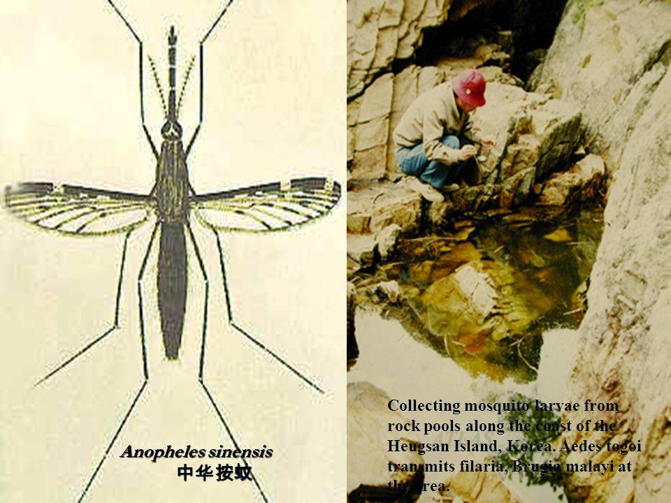 Anopheles sinensis 中华按蚊