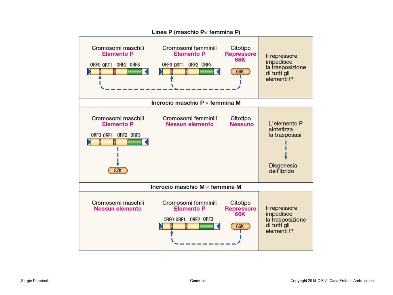 Sergio Pimpinelli Genetica Copyright 2014 C. E. A