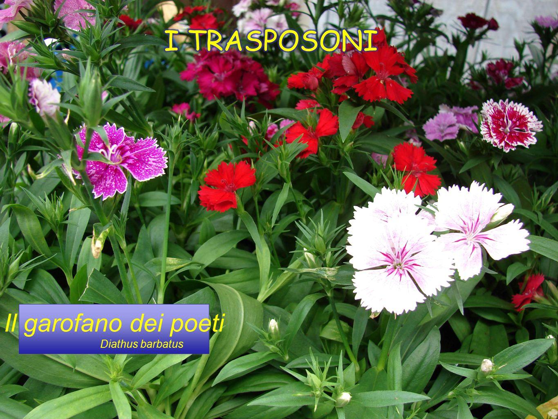 I TRASPOSONI Il garofano dei poeti Diathus barbatus