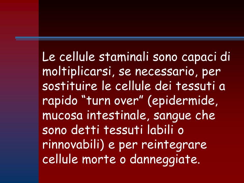 Le cellule staminali sono capaci di moltiplicarsi, se necessario, per sostituire le cellule dei tessuti a rapido turn over (epidermide, mucosa intestinale, sangue che sono detti tessuti labili o rinnovabili) e per reintegrare cellule morte o danneggiate.