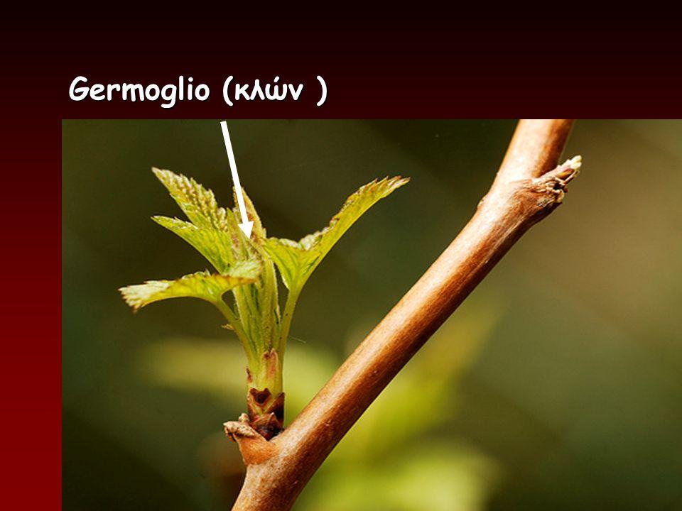 Germoglio (κλών )