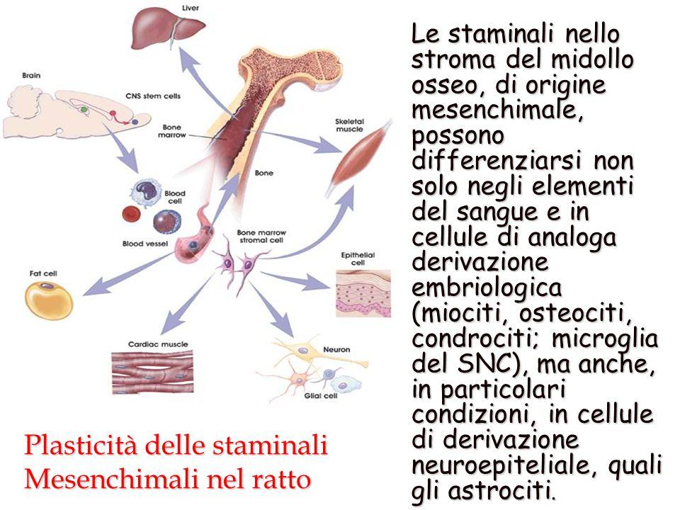 Plasticità delle staminali Mesenchimali nel ratto